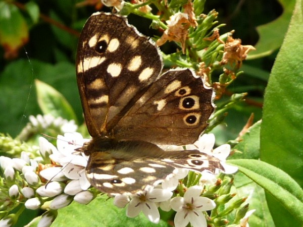 speckled_wood