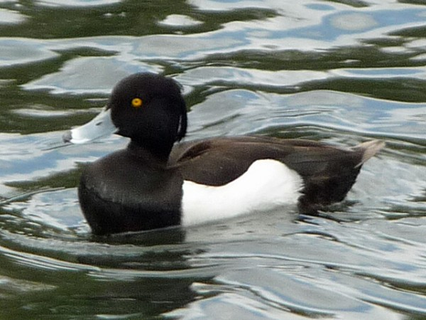 tufted_duck